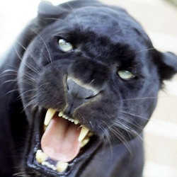 Picture Of Black panther spotted in Derbyshire by wildlife photographer
